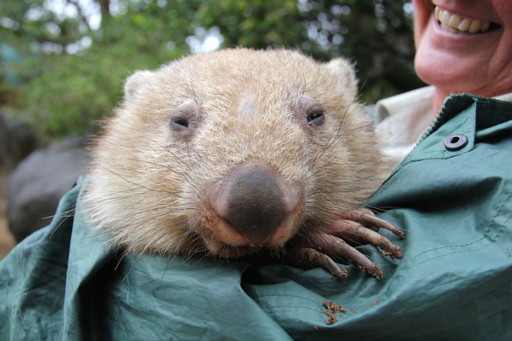 A raincoat and cuddles! Chloe the Wombat knows the secret to staying warm on a rainy Sydney day.