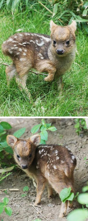 Adorable 1-Pound Fawn is the Newest Member of the World's Smallest Deer Species