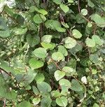 Malabarspinat, rot (Bio-Saatgut RS)