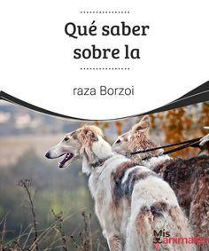 Qué saber sobre la raza Borzoi El Borzoi o Galgo Ruso, es el gran desconocido en el gremio de los perros. Quizá nunca hayas visto, pero es una raza interesante para conocer así como para incluirla entre nuestras opciones si estamos pensando en adquirir un perro. #raza #saber #desconocidas #curiosidades
