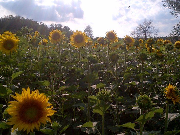 Sunflower field in Refrancore picture taken by nephew