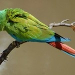 Green Wing Macaw: The Magnificent Bird
