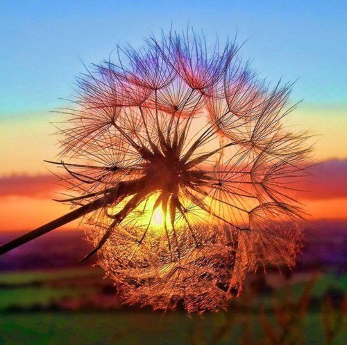 Make a Wish...Photos, Nature, Colors, Sunsets, Beautiful Sunset, Sea Urchins, Tuscany Italy, Dandelions, Photography