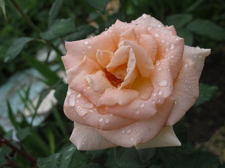 Rose e gocce di pioggia    (Galina Sennikova)
