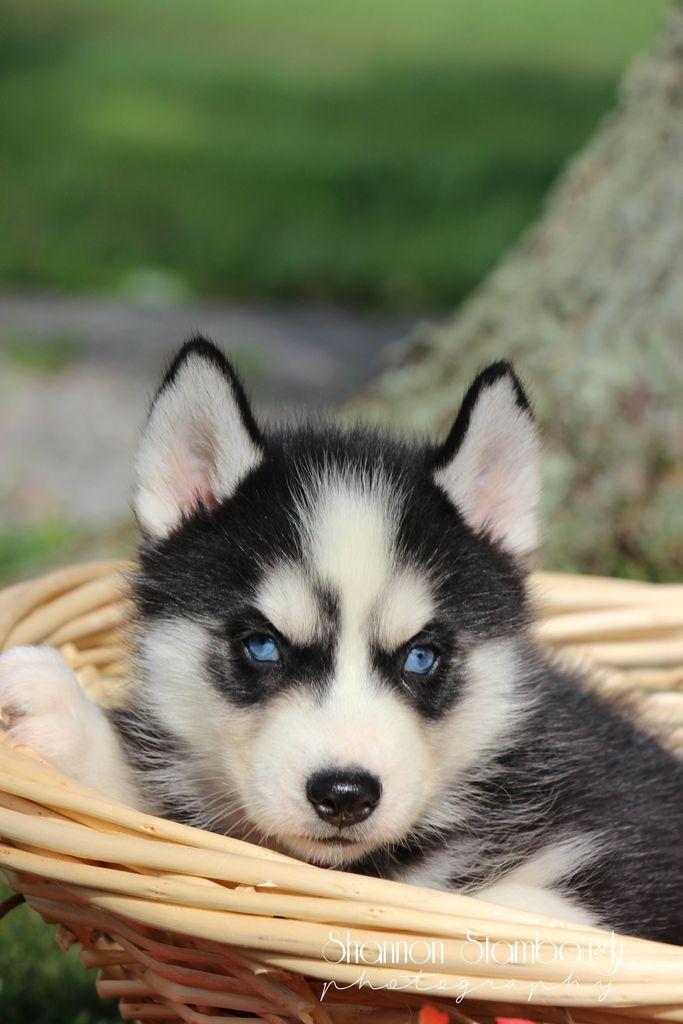 Alexander Male Aca Siberian Husky Full Price 775 00 Deposit