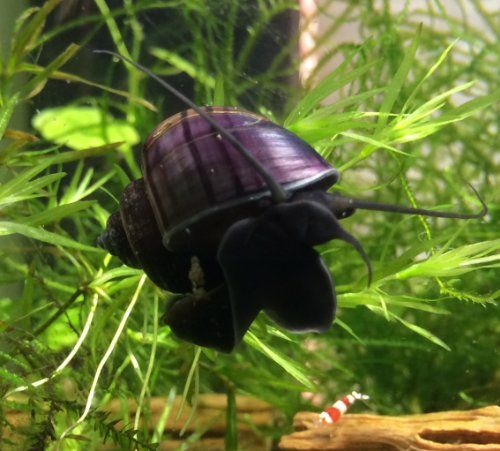 9 best mystery snails images on pinterest fish aquariums for Snails in fish tank