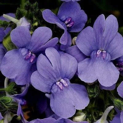 Nemesia (Nemesia Strumosa Blue Gem) - A favorite long-blooming annual that's packed with color! Grow Nemesia seeds for this compact little plant that's perfect for the garden border or for containers.