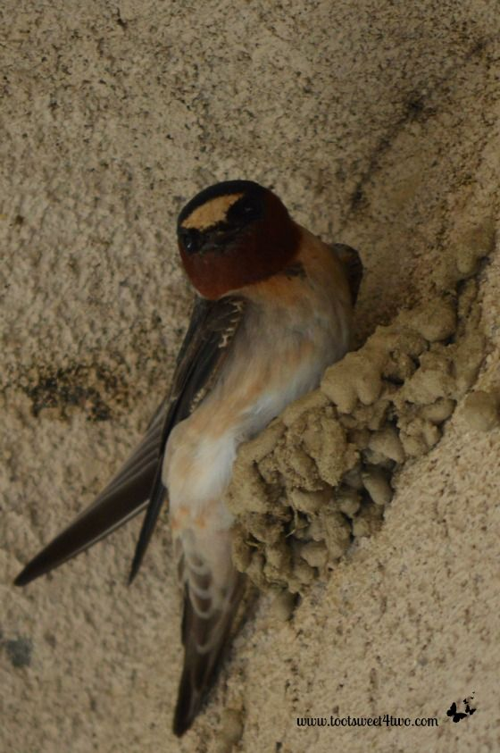 The Swallows Return to Capistrano South