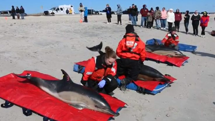 Dolphins rescued in Wellfleet released back into the water – Boston News, Weather, Sports | WHDH 7News-  What they don't say is, the grounding occurred on the coldest weekend this Winter, with temps in the teens and single numbers, and wind chills well below zero all day. Fortunately they were found soon after dawn and all recovered. They were released in warmer waters than they arrived in.