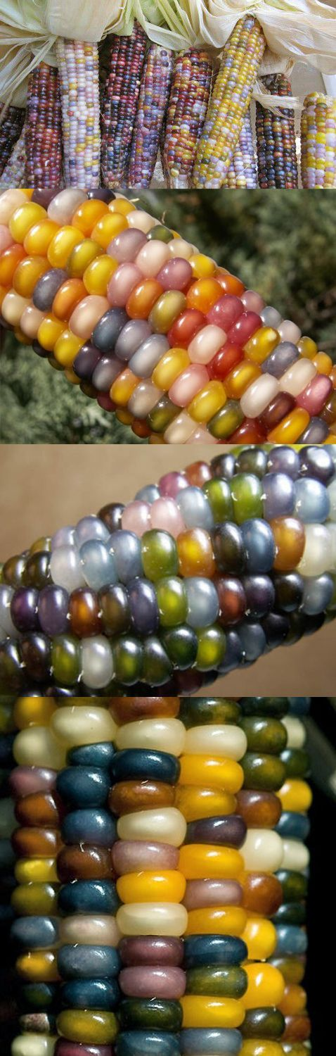 Glass Gem Corn....we grew some indian corn one year...it didnt taste good so we dried it and gave it away ...