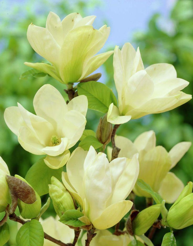 Yulan-Magnolie • Magnolia denudata • Pflanzen & Blumen • 99Roots.com