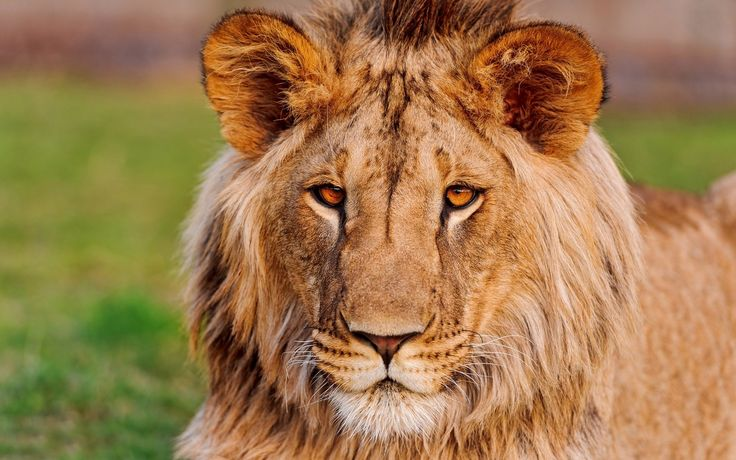 Lion  HD HD Wallpapers | Backgrounds