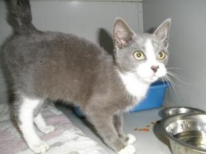 Baxter is an adoptable Domestic Short Hair Cat in Benton, KY. Baxter is a precious 20 week old kitten. He was found as a stray in the pouring rain....$15 adoption fee includes vaccinations, deworming,...