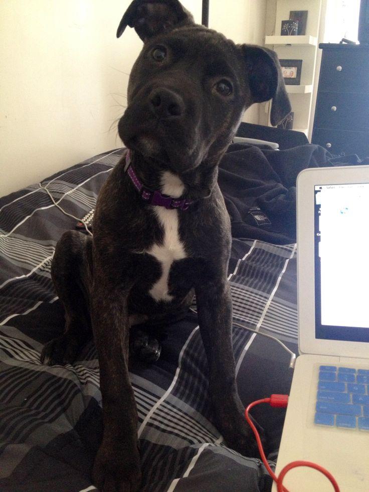 My 4 month old puppy, Bella. Pit bull, Cane Corso Mastiff ...