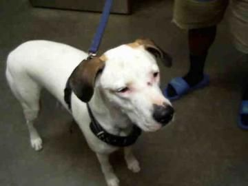 Check out Urlacher's profile on AllPaws.com and help him get adopted! Urlacher is an adorable Dog that needs a new home. https://www.allpaws.com/adopt-a-dog/american-pit-bull-terrier-mix-labrador-retriever/6888785?social_ref=pinterest