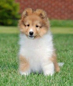 Cute Sheltie Pup