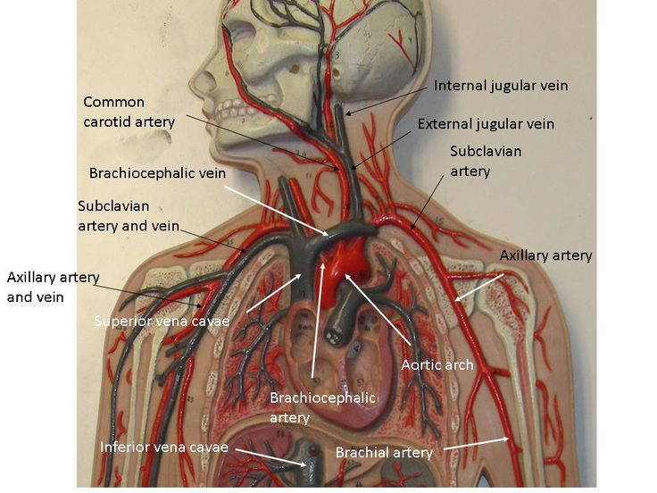 Vascular System Models - Arteries, Veins, Blood Cells ...