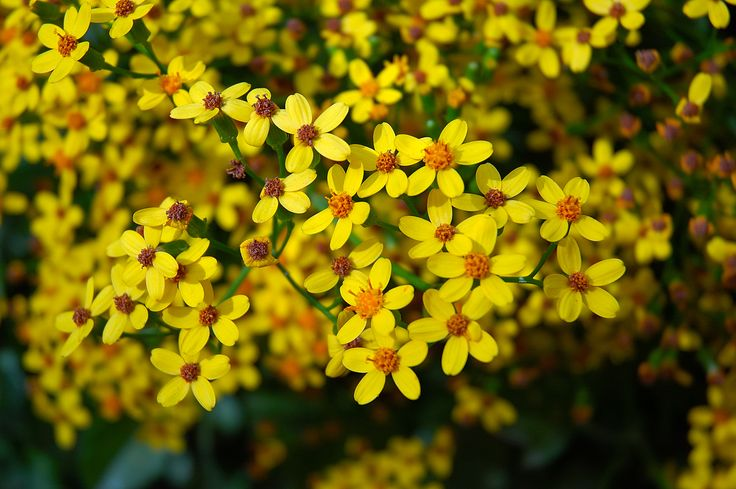Small Yellow Flowers Images