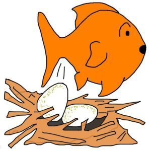 Goldfish breeding: How to breed goldfish