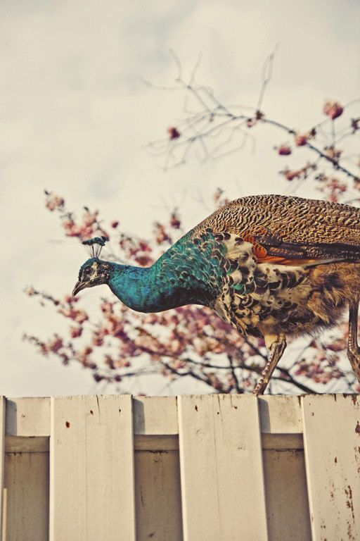 $50 Peacock. Holland. color print available on my Etsy store. Photo by Noa Azoulay-Sclater / feather love photography