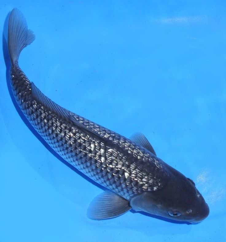 Live koi fish 12 gin rin grey soragoi koibay koi fish for Koi fish black and grey