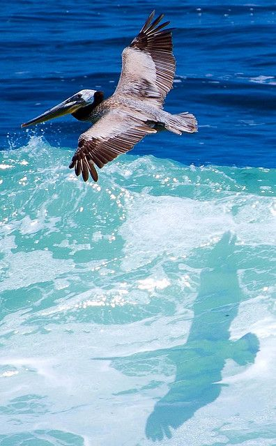 Pelican and his shadow - (CC) Nick Chill Photography