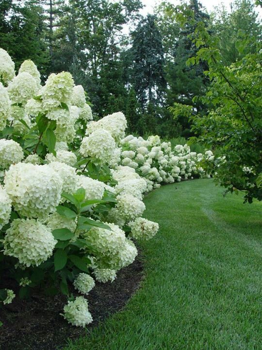 Beautiful white hydrangea border. Labor Junction / Home Improvement / House Projects / Garden / Outdoor / House Remodels / www.laborjunction.com