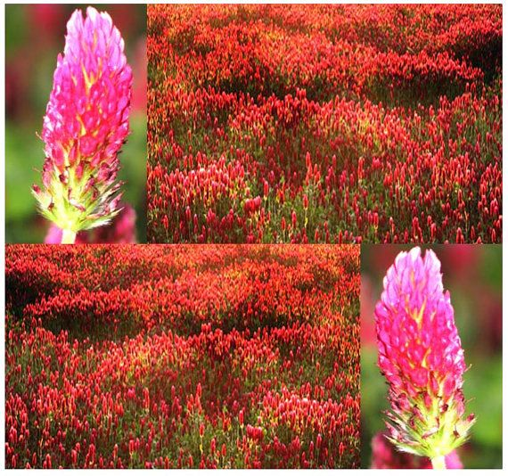 1000 x FRENCH CRIMSON CLOVER Seed - Trifolium Incarnatum ~ Fragrant Flowers - Excellent Ground Protection