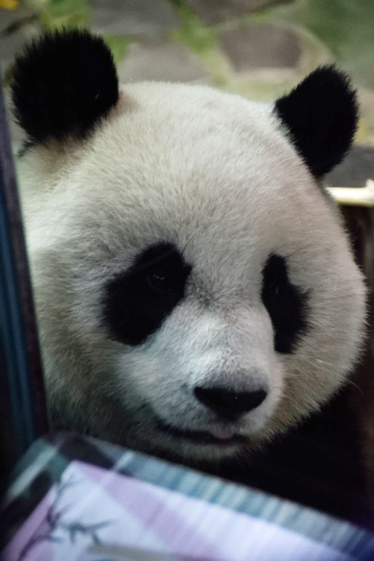 Panda at the Taipei Zoo