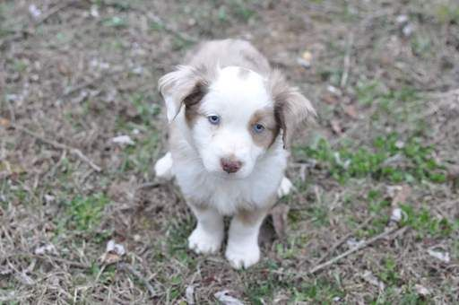 Miniature Australian Shepherd puppy for sale in KANSAS CITY, KS. ADN-26736 on PuppyFinder.com Gender: Female. Age: 7 Weeks Old
