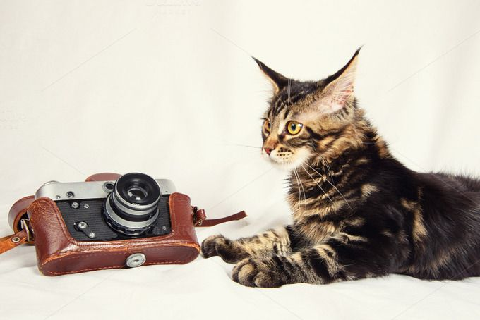 Maine Coon. Check out Kitten and old camera by NikSorl on Creative Market