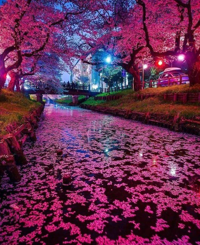 Reddit The Front Page Of The Internet Cherry Blossom Japan Japan Photography Japanese Cherry Blossom