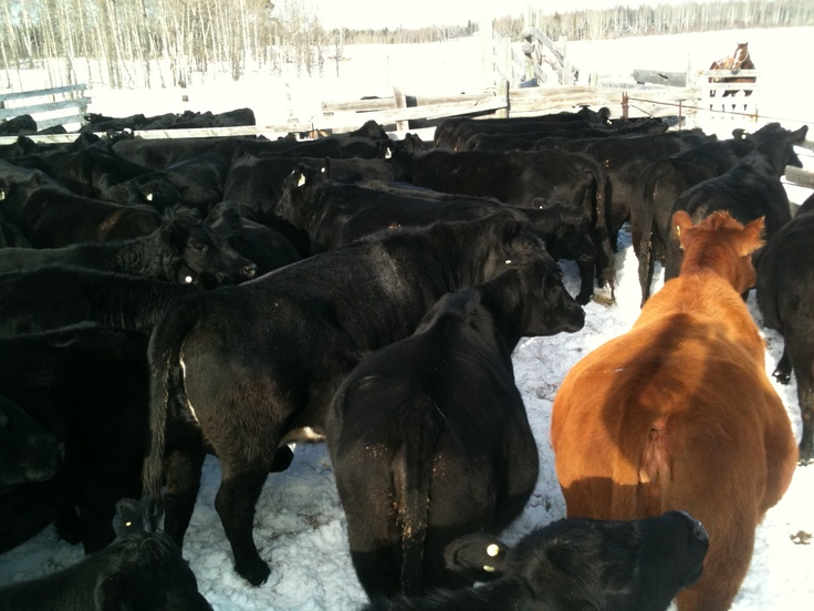 Angus cattle provide many benefits to the rancher