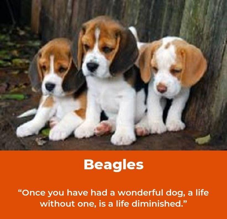 Beagle Friendly And Curious Beagle Puppy Beagle Dogs