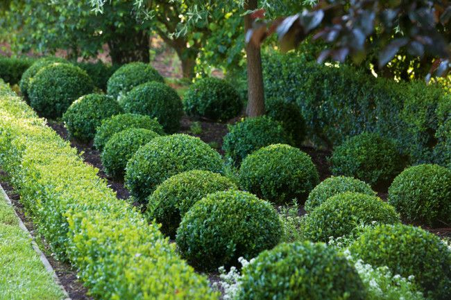 Clipped balls of box are orderly underplanting for trees such as birch, poplar and weeping pear.
