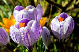 Image result for forsythia and crocus