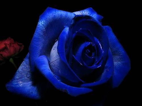 #mavi #gül #blue #rose