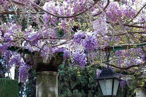 La #primavera nos sorprende con su lado más fotogénico. ¡Empezamos con nuestras #glicinias (wisterias)! http://bit.ly/20ejkqY