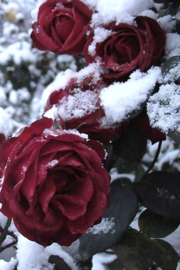 Red Roses Rose Redroses Flowers Snow Winter Romantic Aesthetic Roses Snow Rose Flower Phone Wallpaper