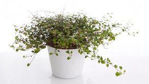 Lankaköynnös (Muehlenbeckia complexa) on kepeä ja viehkeän köynnösmäinen kasvi, jonka pienet pyöreät lehdet ovat kauniin kiiltäviä. Kasvia käytetään sekä sisäkasvina että kesäisin ulkoruukuissa. Kasvi viihtyy hyvin muiden kasvien kanssa ja sitä käytetään monesti ruukkujen täydentäjänä, koska se viihtyy hyvin aluskasvina.