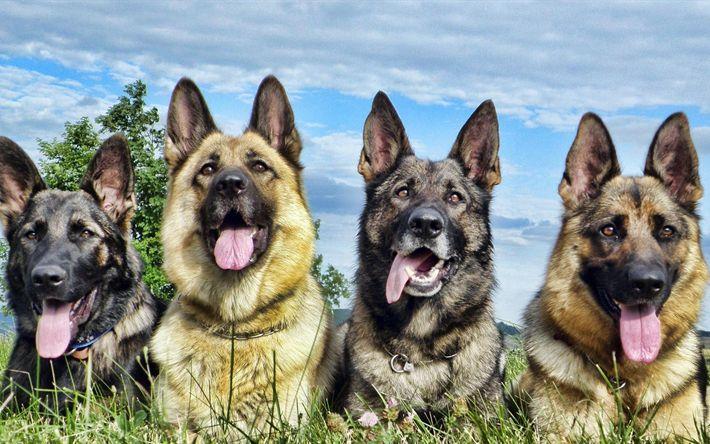 Lataa kuva Saksanpaimenkoira, 4k, koirat, ruoho, niitty