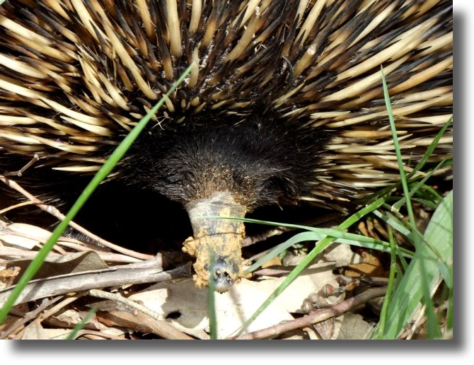 ECHIDNA - SEE OUR SLIDESHOW OF AUSTRALIAN NATIVE ANIMALS, LANDSCAPES & SCENERY AT MUDGEE NSW