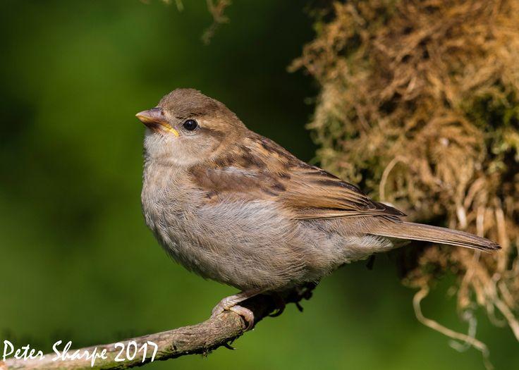 Sparrow - Female House Sparrow, Passer domesticus.