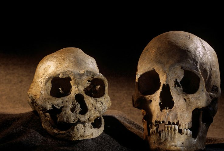 primate and hominin skulls 2013-7-1  how has the human brain evolved over the years  the first fossil skulls of homo erectus, 18 million years ago, had brains averaging a bit larger than 600 ml.