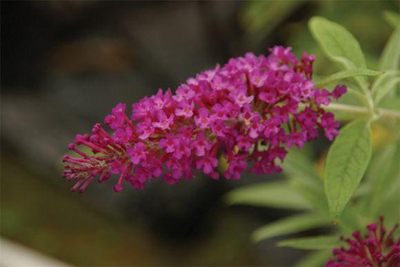 Butterfly Bush, Dwarf Butterfly Bush - Our Plants - Kaw Valley Greenhouses