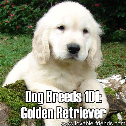 Dog Breeds 101 - Golden Retriever   ►►http://lovable-dogs.com/dog-breeds-101-golden-retriever/?i=p