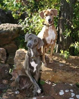 blue lacy dog photo | ... registered Blue Lacys, photo courtesy of Huckleberry's Blue Lacy Dogs