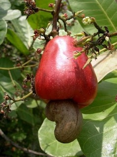 I knew cashews grow on trees, but I had no idea they have fruits attached!