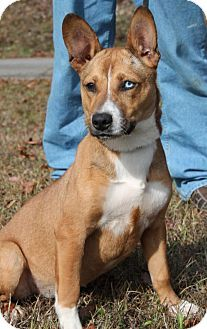 Prattville, AL - Corgi Mix. Meet Empress 25980, a dog for adoption. http://www.adoptapet.com/pet/17296971-prattville-alabama-corgi-mix