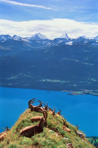 (Capra ibex). Interlaken is flanked by Lake Thun and Lake Brienz. BEEN here!!